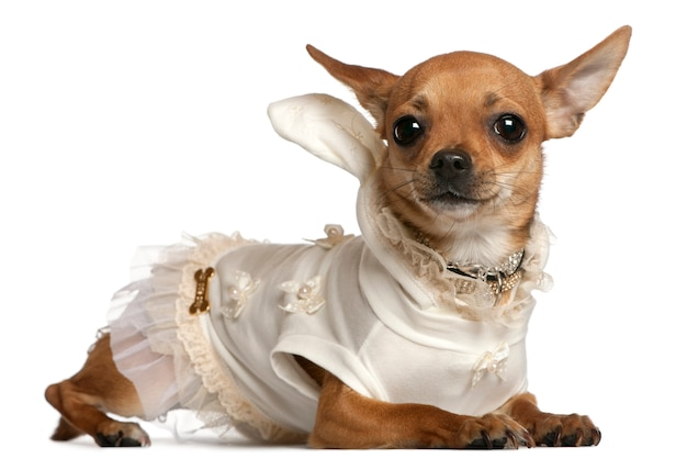 Chihuahua wearing dress, 1 year old, lying
