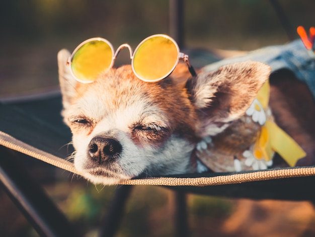 Chihuahua wearing sunglasses and straw hat lies in a hammock slightly opened eyes near a beach enjoying the sun.