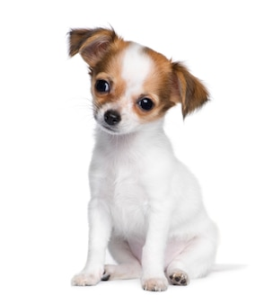 Chihuahua with 3 moths. dog portrait isolated