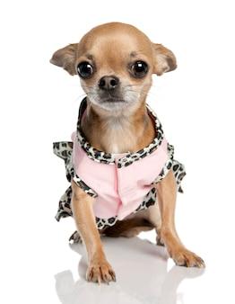 Чихуахуа с 3 лет. портрет собаки изолированный