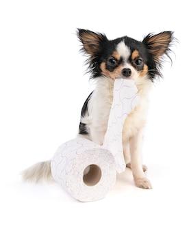 Чихуахуа с туалетной бумагой на белом