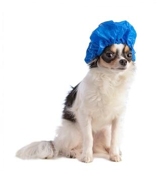 白い背景の青い水泳帽とチワワ