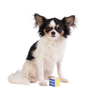 Chihuahua with cube puzzle on white background