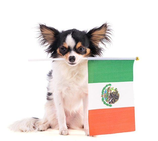 Chihuahua with a flag of mexico on white space