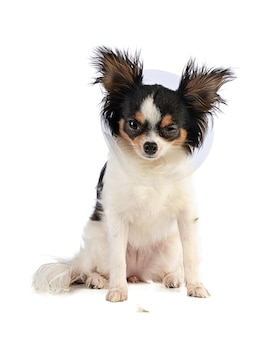 Chihuahua with one collar and one closed eye