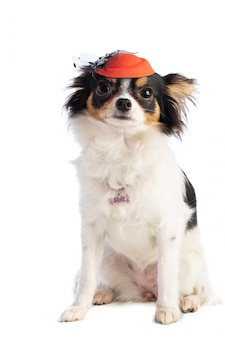 Chihuahua with an orange evening hat