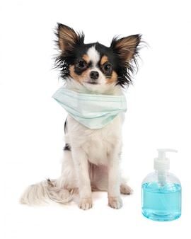 Chihuahua with surgical mask and alcohol gel