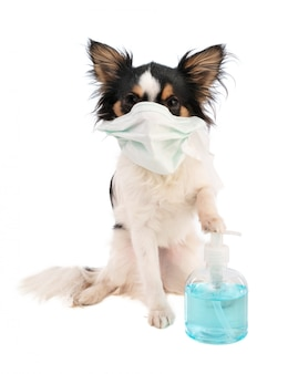 Chihuahua with surgical mask on the mouth and hydroalcoholic gel