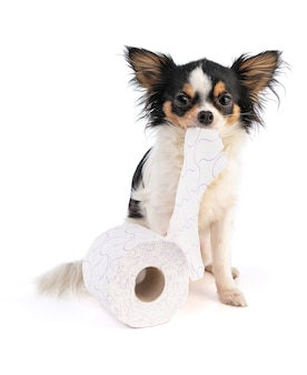Chihuahua with a toilet papier on white