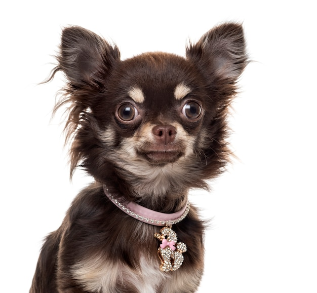 Chihuahuain front of white wall