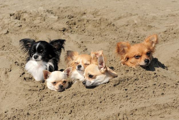 모래에 치와와
