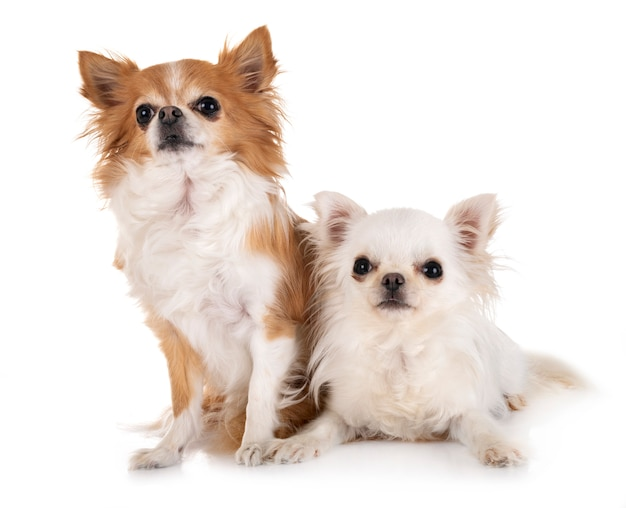 Chihuahuas isolated