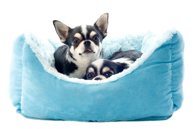 Чихуахуа лежат на синей кровати собаки