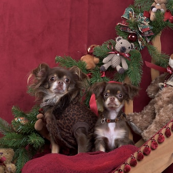 치와와, 크리스마스 장식에서 포즈