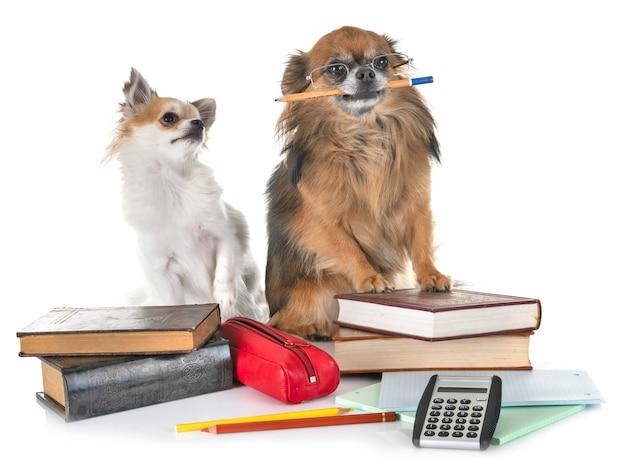 Chihuahuas to school