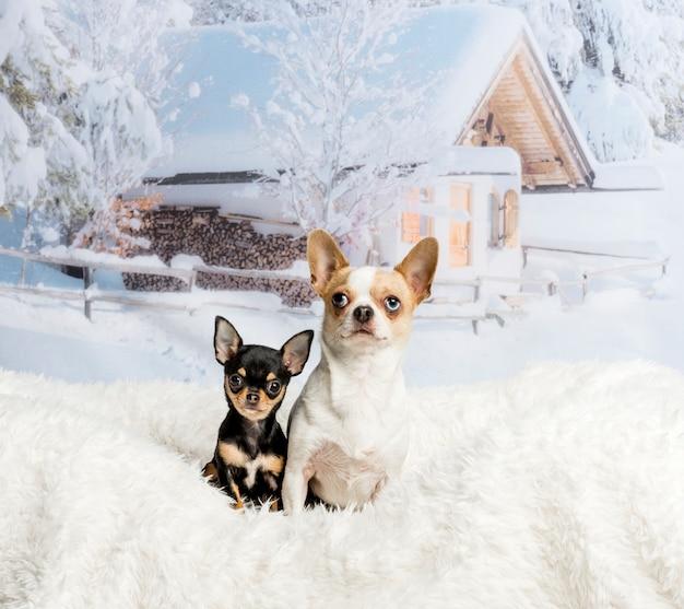 Чихуахуа, сидя на белом меховом коврике в зимней сцене, портрет