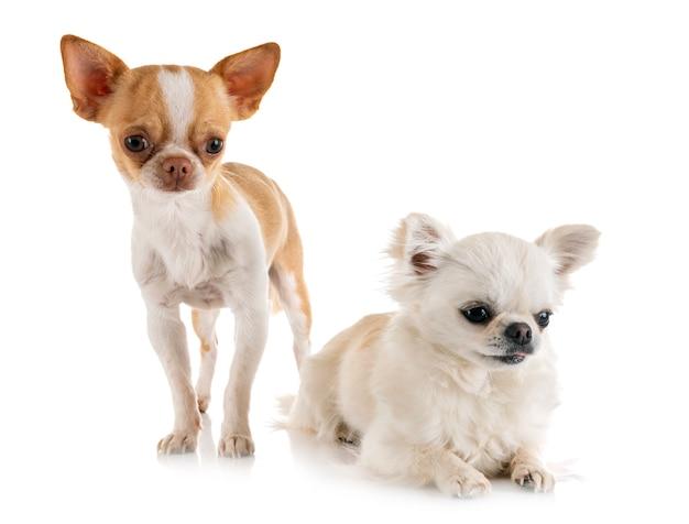 Chihuahuas in studio