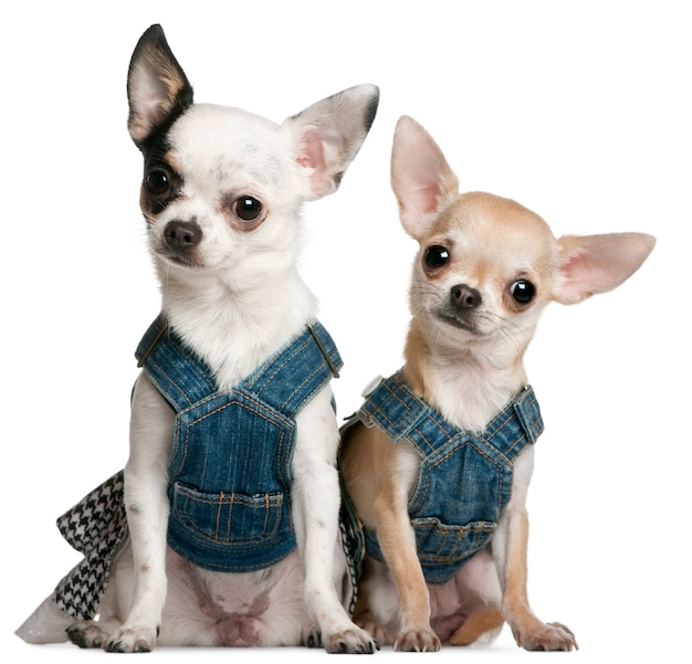 Chihuahuas wearing denim, 1 year old and 11 months old, sitting