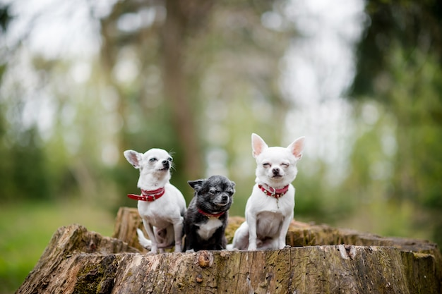 Chihuhuas on a stump