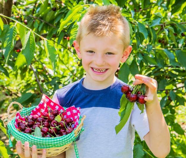 Ребенок мальчик собирает черешню с дерева