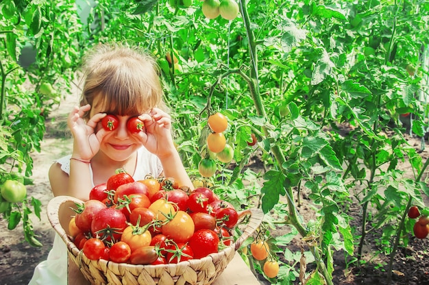 Child collects a harvest of homemade tomatoes. selective focus.