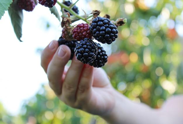 Child hand plucks ripe blackberry