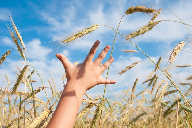 Child hand reaching for a spikelet of wheat