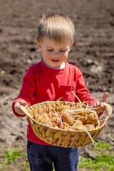 子供は地面にジャガイモを植えるのを手伝います