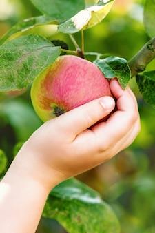 Ребенок собирает красное яблоко с ветки дерева.