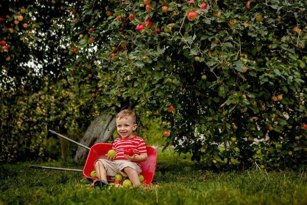 農場でリンゴを摘む子供。リンゴの木の果樹園で遊んでいる少年。子供は果物を選び、手押し車に入れます。秋の収穫時に健康的な果物を食べる赤ちゃん。子供のためのアウトドアの楽しみ。
