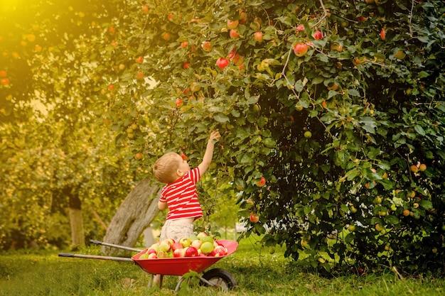 農場でリンゴを摘む子供。リンゴの木の果樹園で遊んでいる少年。子供は果物を選んで手押し車に入れます