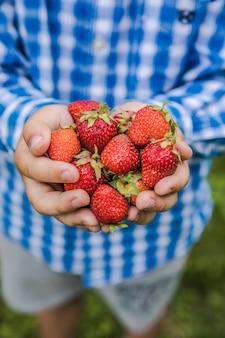 화창한 여름날 과일 농장에서 딸기를 따는 아이. 아이들은 신선하고 잘 익은 유기농 딸기를 손에 들고 있습니다.