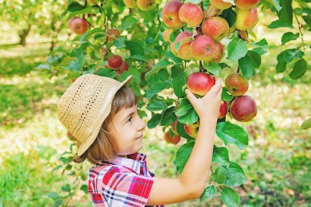 Child picks apples in the garden in the garden