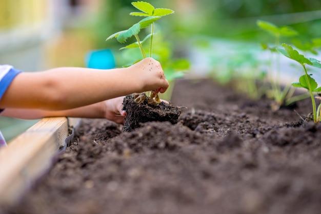 肥沃な土壌にイチゴの苗を植える子供