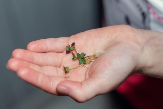 Рука ребенка держит ростки микрозелени белой горчицы на ладони, концепция здорового питания.