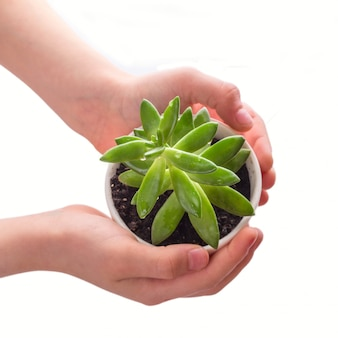 Child's hands holding a pot with green succulent plant isolated on white