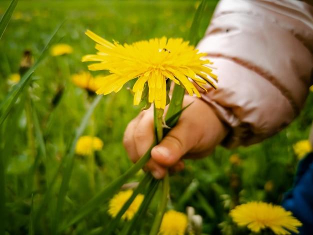 Ребенок слезы желтых цветущих одуванчиков в зеленой траве крупным планом детская рука собирает цветы в