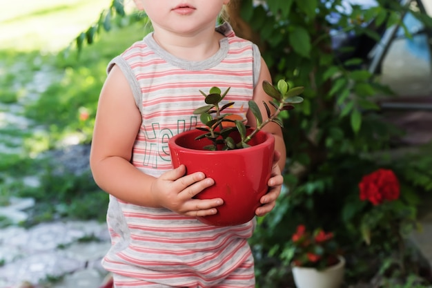 Ребенок пересаживает растения денежного дерева. крассула яйцевидная, нефритовое растение, счастливое растение, денежное растение в разноцветных горшках.