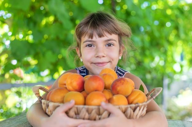 アプリコットの庭師の収穫を持つ子供。セレクティブフォーカス。