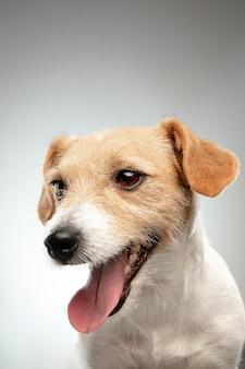 Детство. закройте представление маленькой собаки джек рассел терьера. милая игривая собачка или домашнее животное, играющее на сером фоне. понятие движения, действия, движения, любви домашних животных. выглядит счастливым, довольным, забавным.