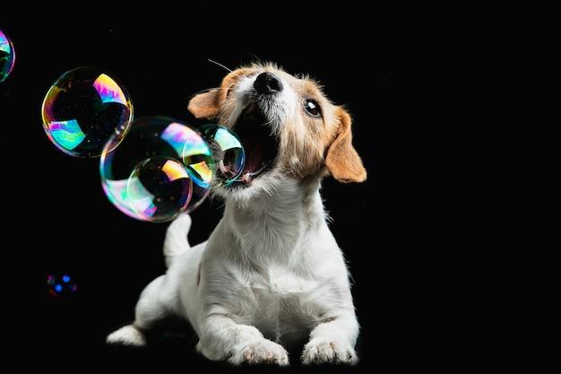 Детство. джек рассел терьер маленькая собачка. милая игривая собачка или домашнее животное играет на черном фоне с мыльными пузырями. понятие движения, действия, движения, любви домашних животных. выглядит счастливым, довольным, забавным.
