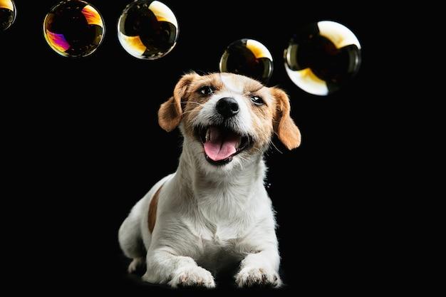 子供時代。ジャックラッセルテリアの小さな犬。シャボン玉で黒い背景で遊ぶかわいい遊び心のある犬やペット。動き、行動、動き、ペットの愛の概念。幸せ、喜び、おかしいように見えます。