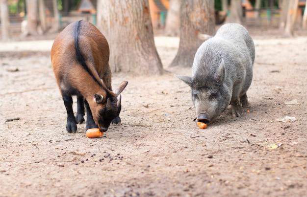 Дети животных коза и поросенок едят корм