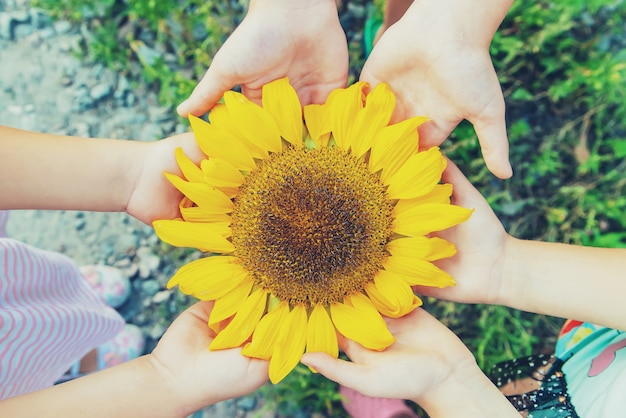Children are holding a sunflower in their hands