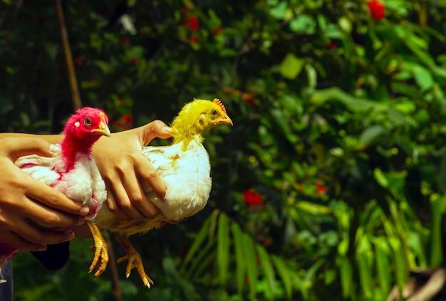 아이들은 빨간색과 노란색 머리로 닭을 잡고 선택된 초점