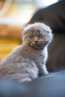 Дети животных. маленькая британская короткошерстная кошка. котенок на размытом фоне.
