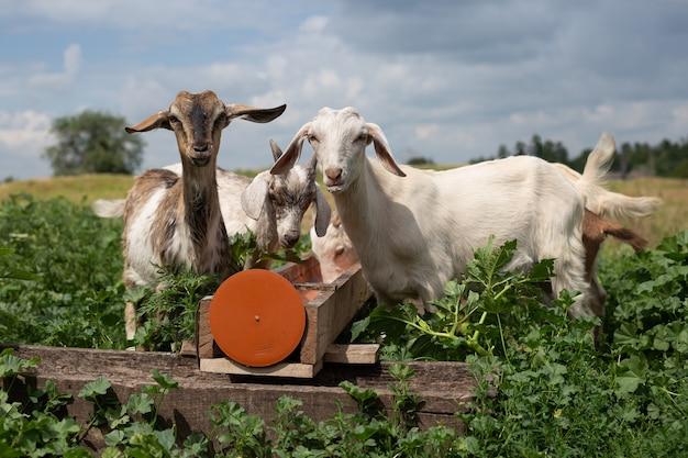 ヤギの子供たちは野外の餌箱から食べます