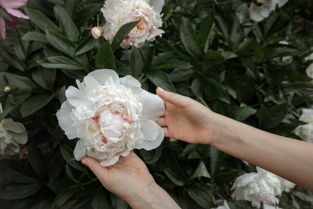Children's hands are holding a peony flower growing on a bush.