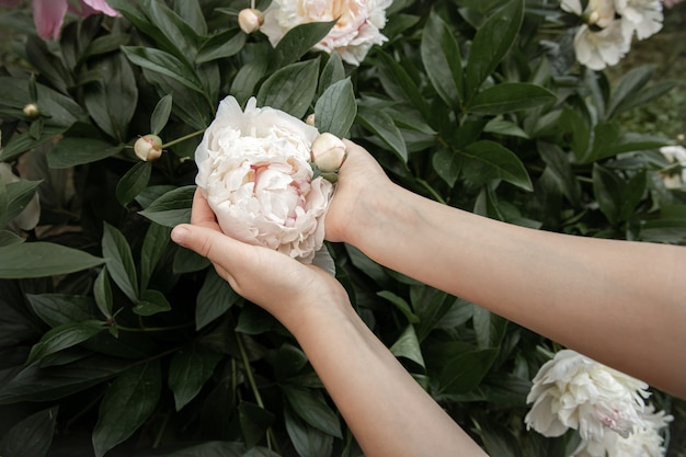 Children's hands are holding a peony flower growing on a bush