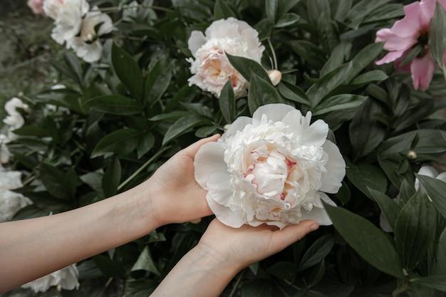 Le mani dei bambini tengono in mano un fiore di peonia che cresce su un cespuglio
